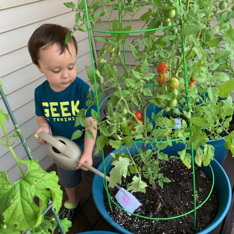 Toddler watering tomato plants
