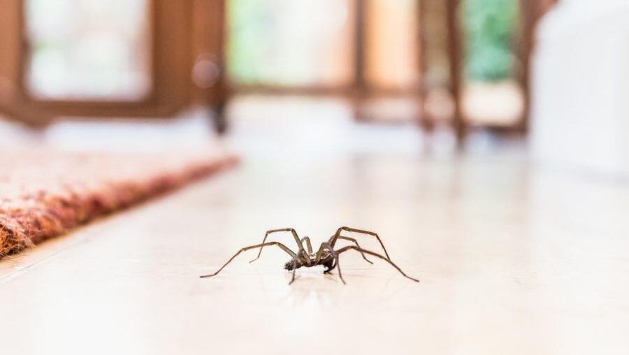 Spider Inside House