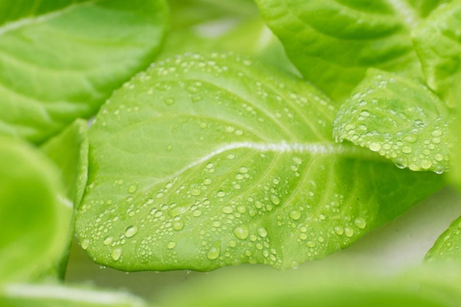 Condensation on Lettuce