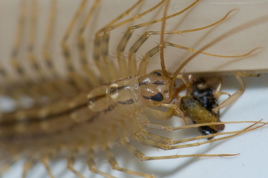 House Centipede Eating Bug