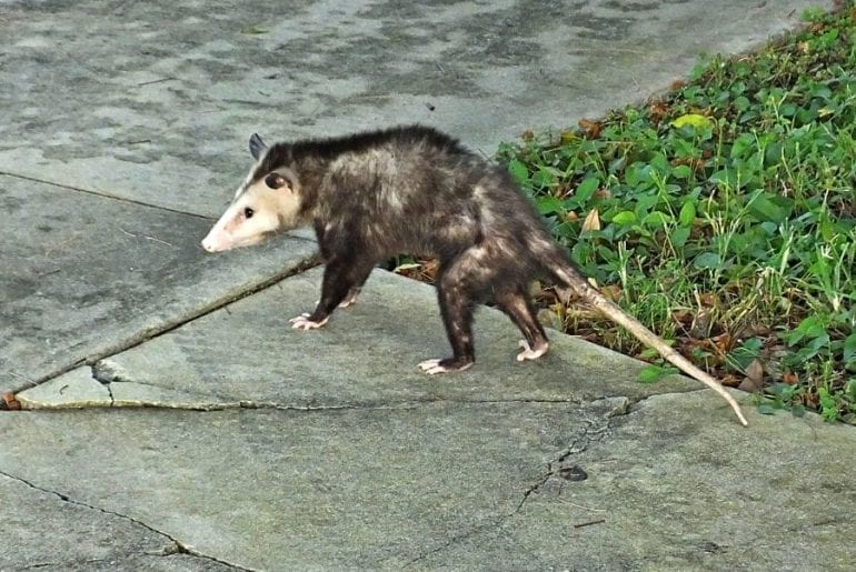 Possum Outside of Garage