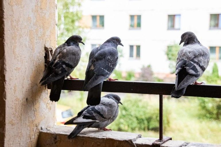 Pigeons on Balcony