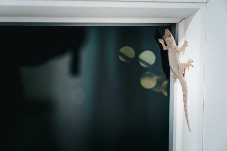 Lizard on Window in House