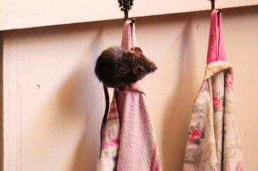 Mouse Climbing on Tea Towel
