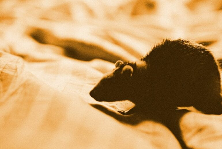 Mouse in Bed Sheets