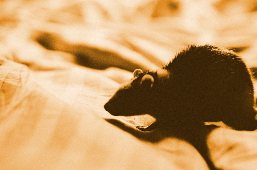 Can Mice Be in Your Mattress? (Plus Tips to Keep Them Away)