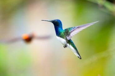 White-Necked Jacobin Hummingbird Hovering in the Air