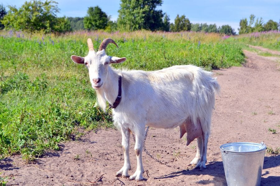 Nanny Goat Standing by Bucket in Village