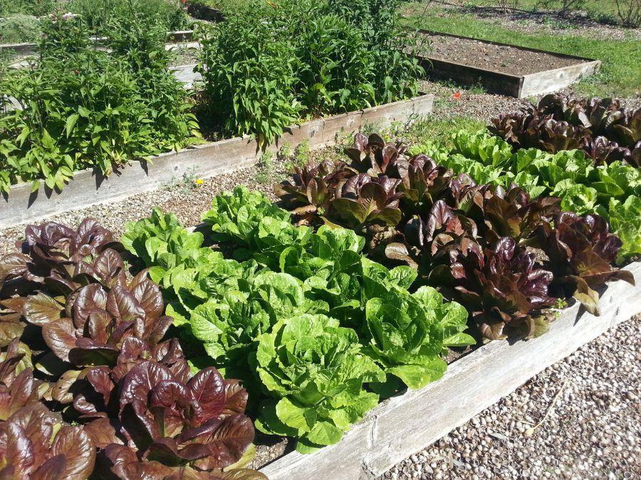 Lettuce in Raised Bed Garden